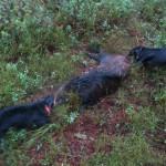 Andra svinet för Etta och Udda