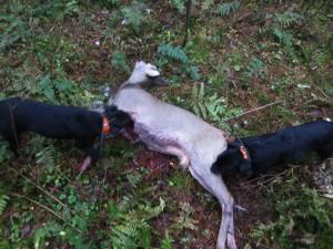 Ett av många rådjur skjutna för hundarna