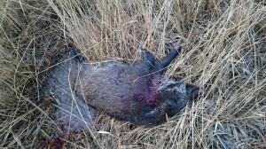 Första grisen