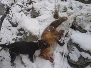 Udda med dagens andra räv