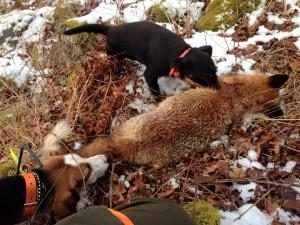 Stella spränger räv