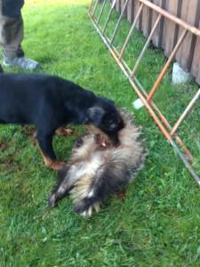 Skadad grävling tagen av Stella
